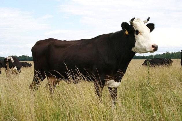 Описание ярославской породы коров