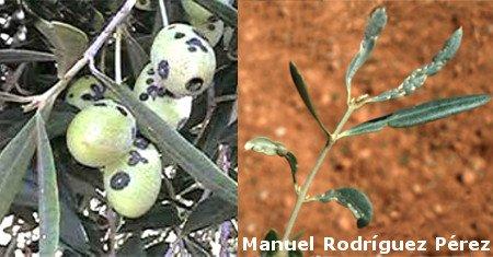 Arañuelo del olivo en aceitunas y hoja