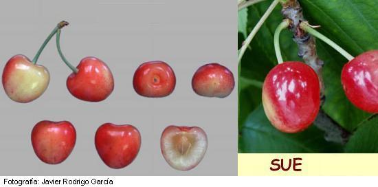 Variedad de Cereza Sue. Cereza Bicolor, cereza para industria