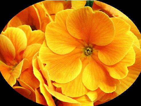tubes_fleurs_tiram_647
