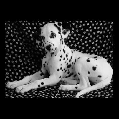 chien_tiram_23