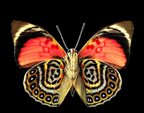 tubes_papillon_tiram_772