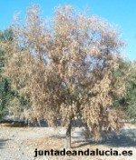 Wilt olive tree, Verticilosis del olive tree, Verticillium Dahliae, dried olive tree