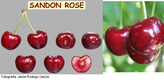 cerezo Sandon Rose, variedad de cereza Sandon Rose, cereza temprana