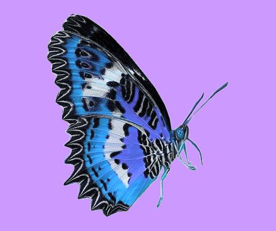 tubes_papillon_tiram_635