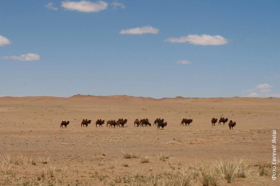 Верблюди