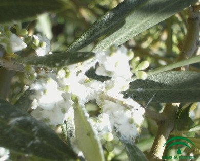 olive psyllid pest, plague on inflorescence, Euphyllura olivina in olive tree flowers