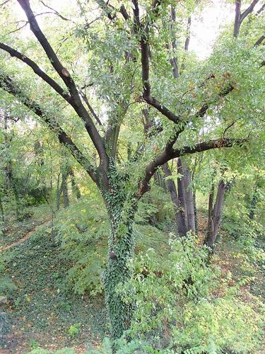 Bulgri Quercus_trojana_Jevremovac_1