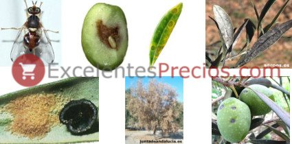 Olive tree diseases, olive tree diseases pictures, pests of the olive, information and treatments Fly, olive peacock spot, sooty mould, black scale, verticillium and violet scale
