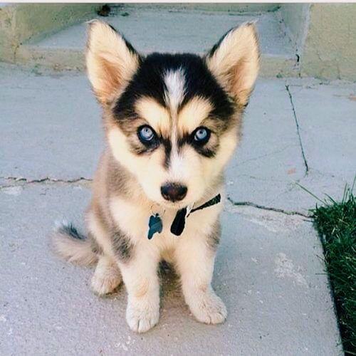 4d31913b7459a096e6b591b7e3e95304_cute_husky_puppies_husky_puppys