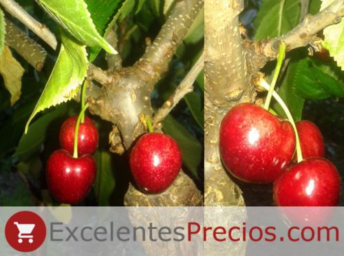 Cherry tree, Sandon Rose cherry, early cherry resistant to cracking