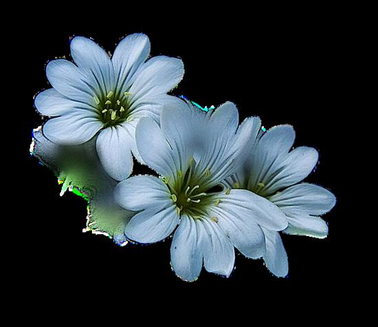 tubes_fleurs_tiram_163