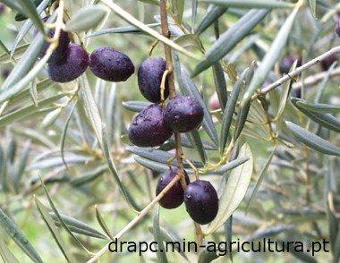 Cobrancosa Olive, Azeitona Cobrancosa