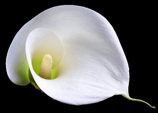 tubes_fleurs_tiram_364