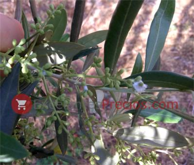 flor del olivo: rapa, trama, muestra, esquimo