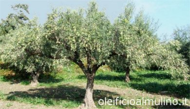 Biancolilla olive tree, Variety of Olive Biancolilla. Olive variety for olive oil mill