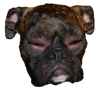 alergia en perros, ojo rojo e hinchado