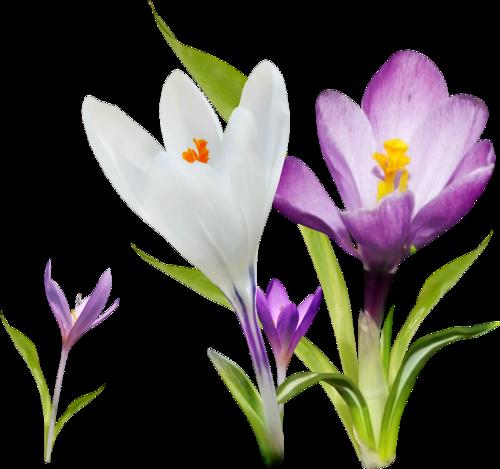 fleurs_paques_tiram_179