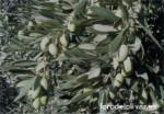 Variedad de olivo Pajarero, aceituna de tamaño muy gordo, aceituna grande