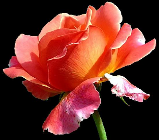 tubes_fleurs_tiram_246