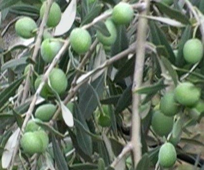 Olivo Sant'agostino olive tree, Sant'agostino olives