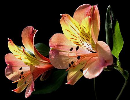 tubes_fleurs_tiram_793
