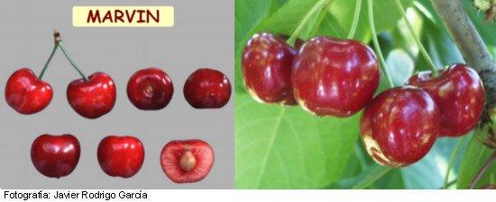 Cerezo Niram, variedad de cereza Marvin, cereza de maduración temprana