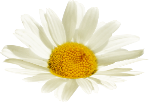 tubes_fleurs_tiram_553