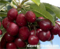 Types of cherry: Royal Hazel