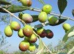 Frantoio es una de las variedades de aceitunas italianas más expandidas para aceite de oliva