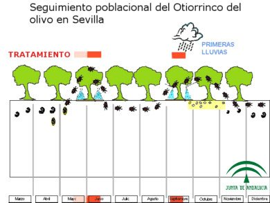 Época de tratamiento Otiorrinco del olivo