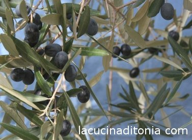 Italian olives Leccino, Lecino olives