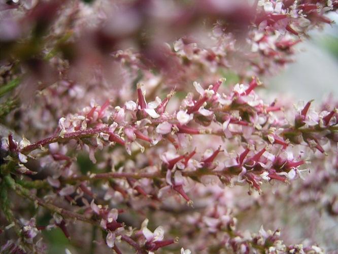 Bruka Tamarix_gallica_bloemen