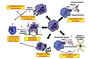 Complex role of neutrophils in the pathogenesis of inflammatory disease (taken from Seminars in Immunology, Volume 28, Issue 2, pp.159-173)