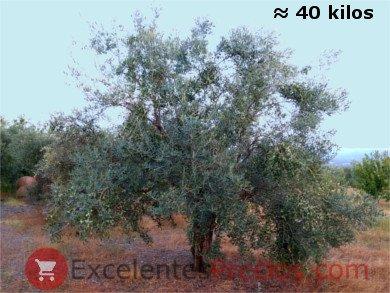 Olivo Cornicabra con carga media de 40 kg
