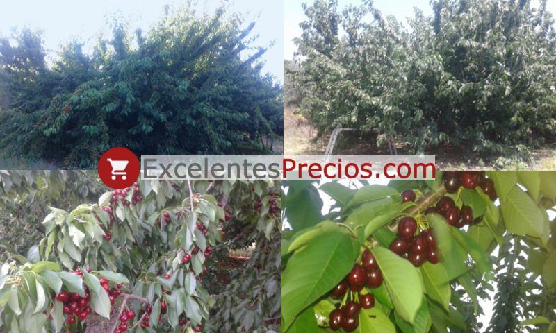 Árbol de Cereza Lapins, rama cargada de Lapins, cerezo de alta productividad