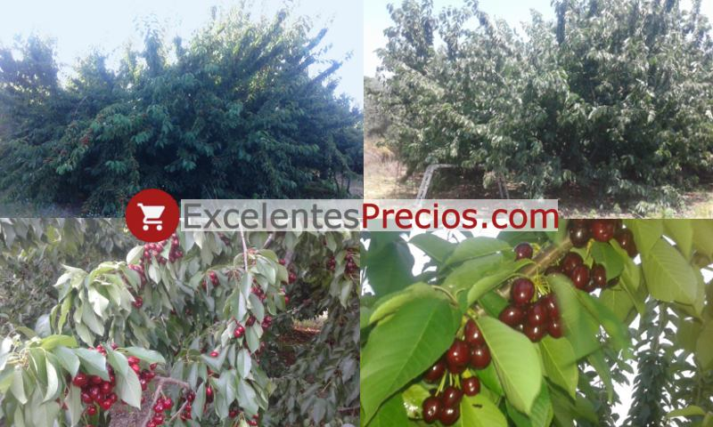 Cherry tree Lapins, branch loaded with Lapins, cherry tree with high productivity