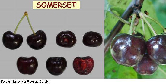 Cerezo Somerset, variedad de cereza Somerset, cereza de maduración tardía
