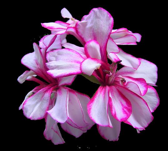 tubes_fleurs_tiram_632