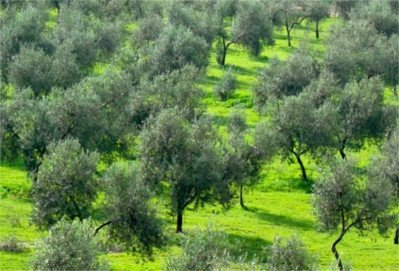 olive trees in rainy weather