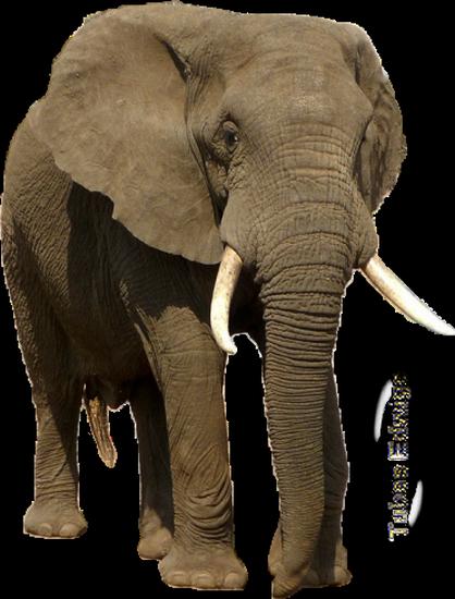 tubes_elephants_tiram_646