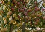 Arbosana Olive Harvest