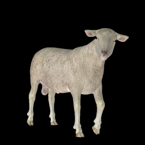 mouton_tiram_63