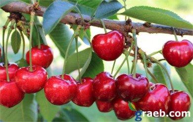 Cerezo Canada Giant, variedad de cereza Canada Giant, Sumgita, cereza de maduración media