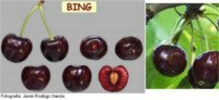 Cherry types: Bing