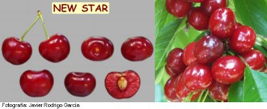 New Star cherry, variety New Star, cherry half station