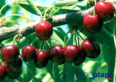 Sabrina cherry, new Sabrina cherry variety, excellent quality, early cherry, sweet cherry, hard cherry photos