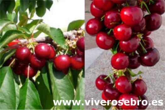 Cereza Nimba, variedad de cerezo Nimba, cereza de recolección temprana, cereza apta para la exportación, foto cerezas