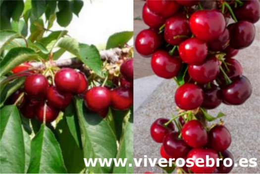 Cereza Nimba, variedad de cerezo Nimba, cereza de recolección temprana, cereza apta para la exportación