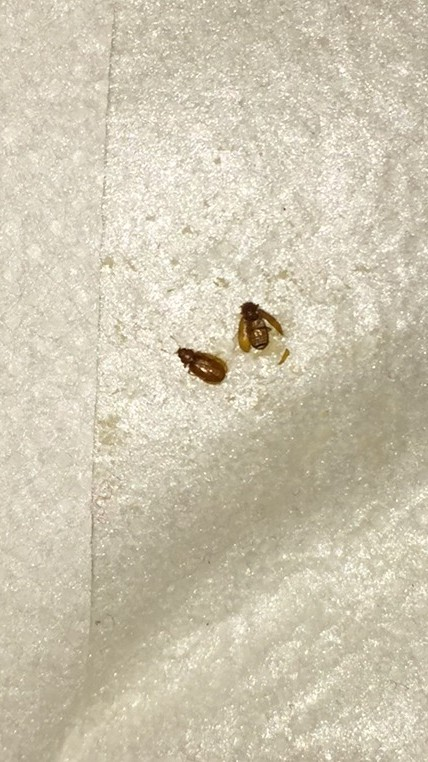 Id Needed Please A Beetle Got Bed Bugs Bedbugger Forums